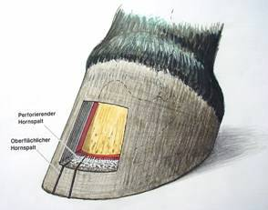 tiefe mittlere strahlfurche lederhaut